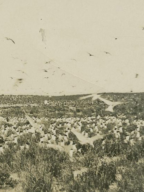 Seagulls on the Barrier Reef. ca. 1930