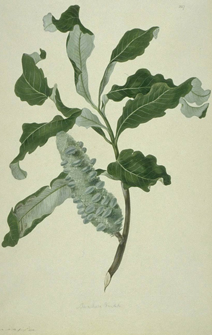 This is a watercolour-on-paper drawing of Banksia dentata. The attributed artist is James Miller, but the work would have been heavily based on a partially coloured sketch by Sydney Parkinson, Sir Joseph Banks' botanical artist who was present when the species was first collected at Endeavour River, Australia.