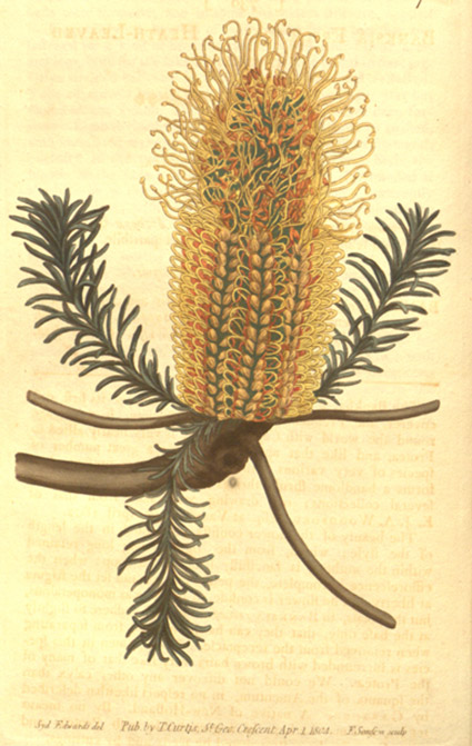 A digital reproduction of an illustration of a species identified as Banksia ericifolia.