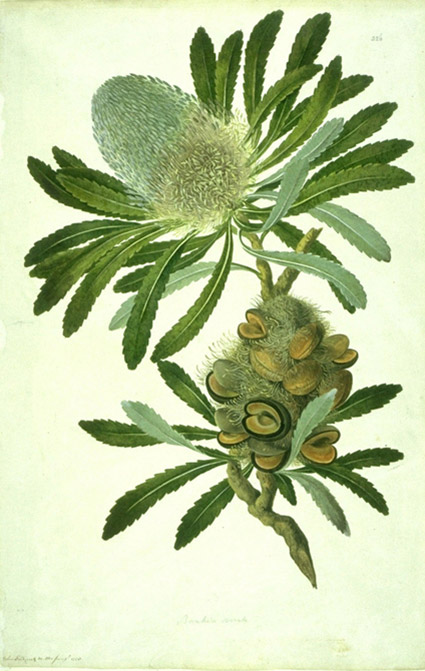 Watercolour-on-paper drawing of Banksia serrata by John Frederick Mille